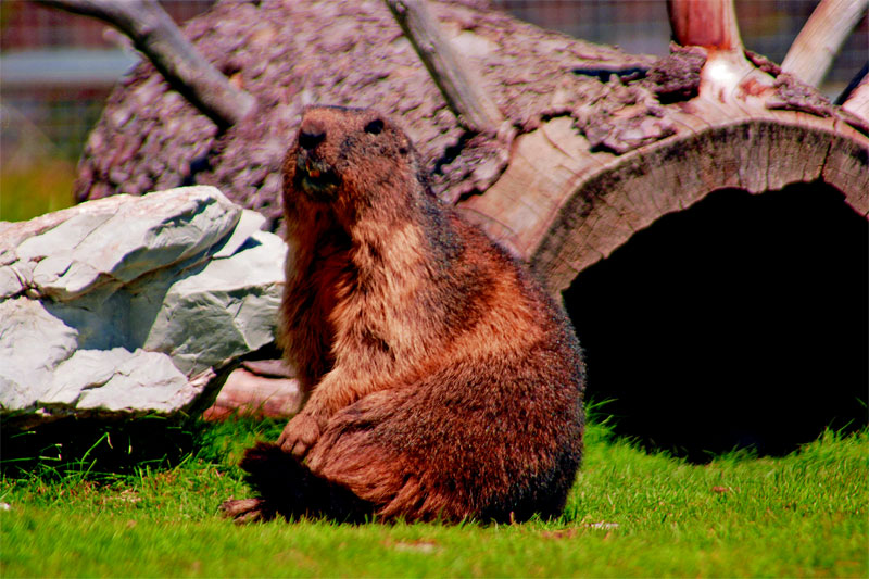Marmot at Les Rochers-de-Naye