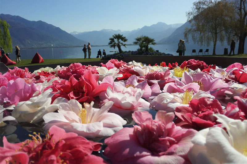 Camellias, Locarno